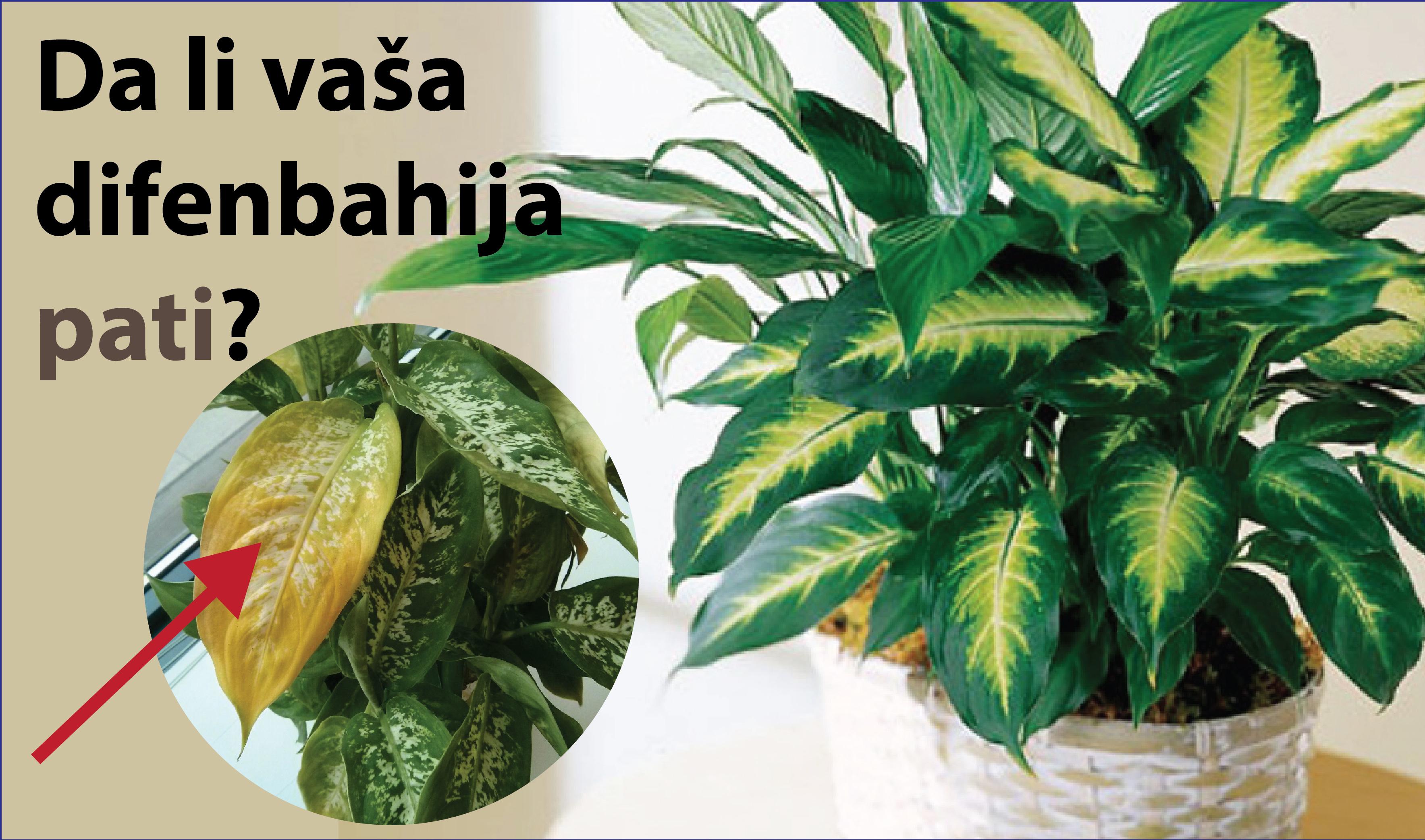 Gajenje difenbahije: Šta kada listovi požute?