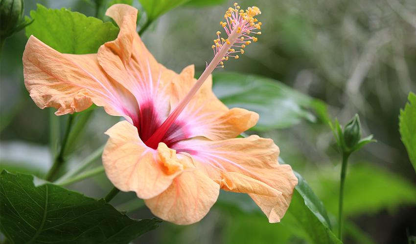 Cvet koji svi vole - Hibiskus